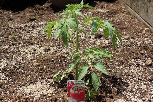 初めてトマトの栽培に挑戦しました